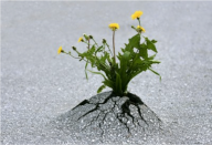 Dandelion through pavement