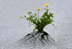 Dandelion through pavement