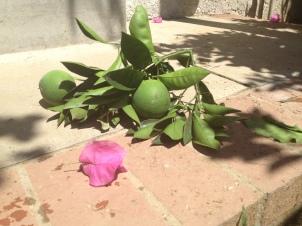 Unripe Oranges
